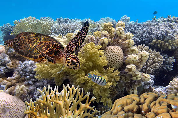 green turtle swimming in blue ocean,great barrier reef stock photo