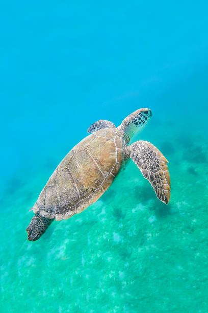 Green turtle swimming in sea water stock photo