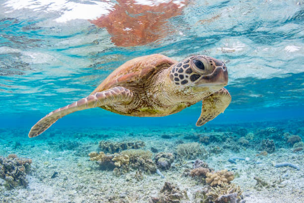 green turtle swimming on the great barrier reef, queensland, australia - great barrier reef stock pictures, royalty-free photos & images