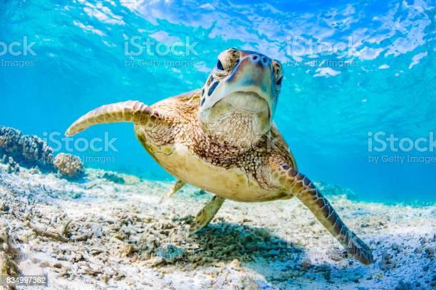 Green turtle swimming on the great barrier reef queensland australia picture id834997362?b=1&k=6&m=834997362&s=612x612&h=t4jpxyal38evblxnqhiqsh5u0icpfdex  wxguu27qs=