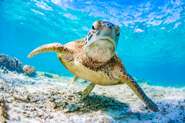green turtle swimming on the great barrier reef, queensland, australia - tartaruga foto e immagini stock