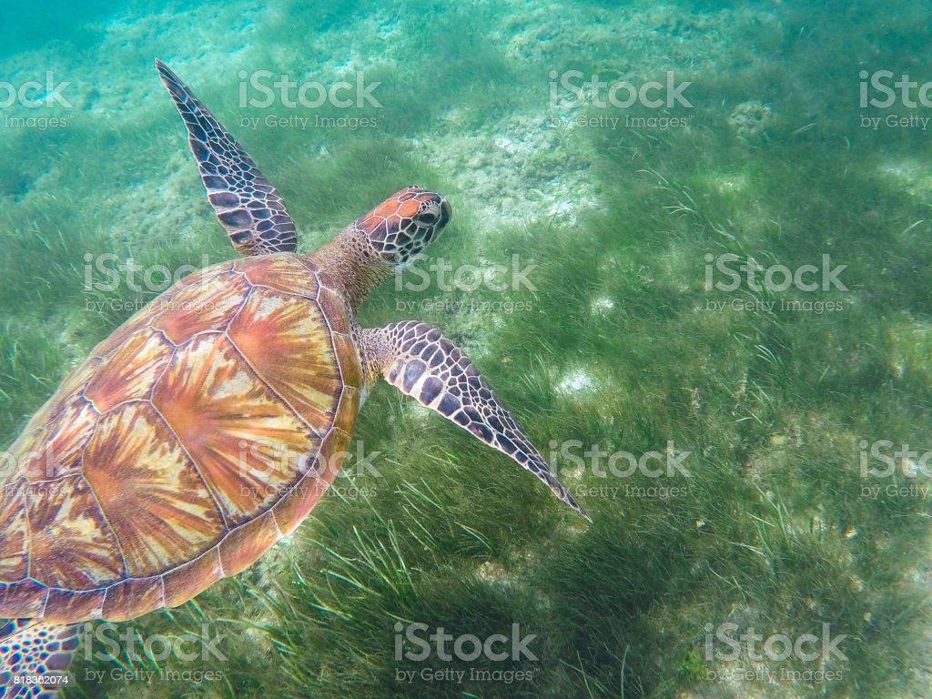 Green turtle swims above sea grass. Sea turtle underwater photo stock photo