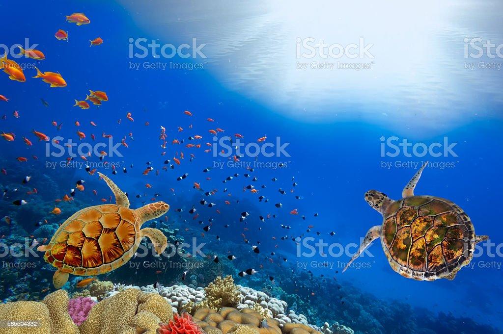 Green turtles over the sun in sipadan water stock photo