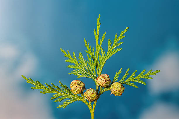 Green twig of thuja the cypress family with 4 seeds stock photo