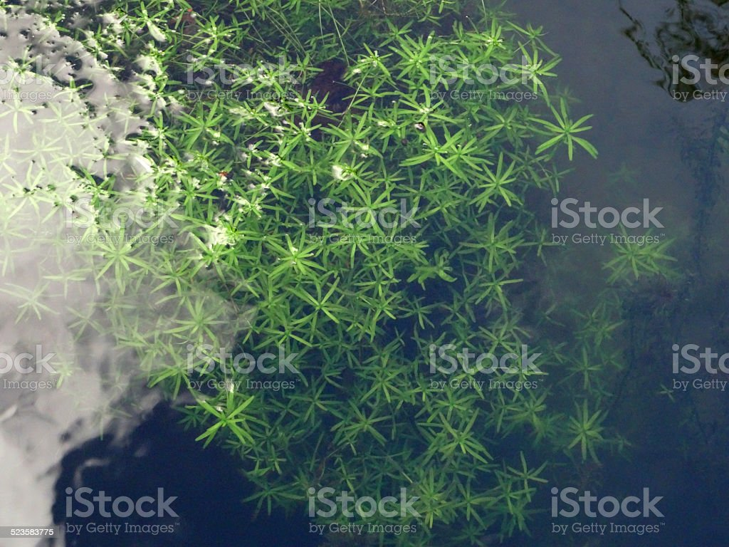 Green, underwater moss pond weed image, star shaped leaves / plant stock photo