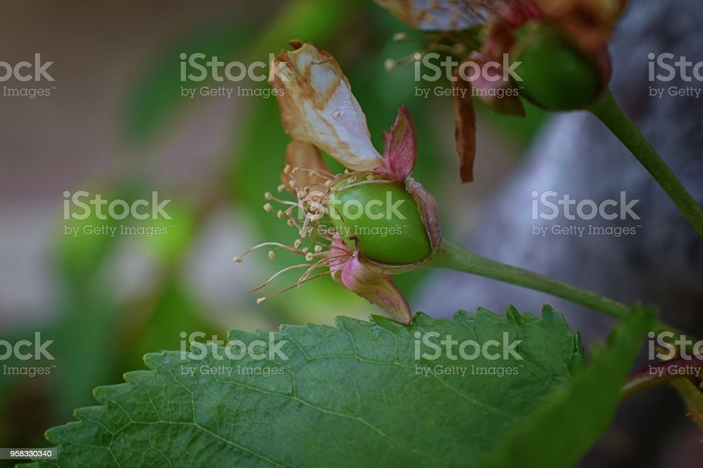 Green unripe Rainier cherry berries with withering blossom attached in detail, macro close up with tree branches blurred in background in South Jordan, Utah. stock photo