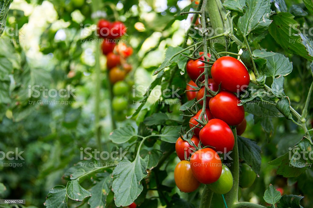 Green unripe tomatoes and red tomatoes. stock photo