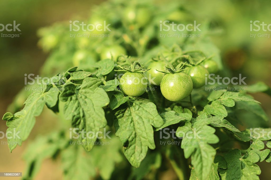 Green unripe tomatoes grow royalty-free stock photo