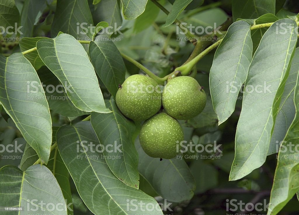 green unripe walnuts on tree royalty-free stock photo
