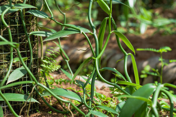 Green vanilla plants and fruits in growth at garden stock photo