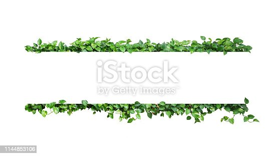 istock Green variegated leaves nature frame border of devil's ivy or golden pothos the tropical foliage plant on white background. 1144853106