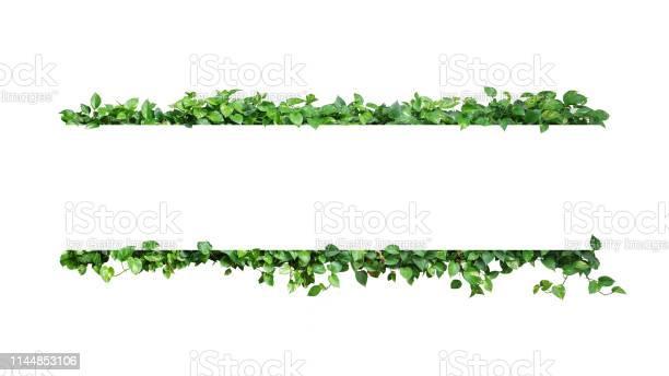 Green variegated leaves nature frame border of devils ivy or golden picture id1144853106?b=1&k=6&m=1144853106&s=612x612&h=jmwj4rnbokwhbwvc7be1zuhv0b6xjwfx5sdaytk 0ww=