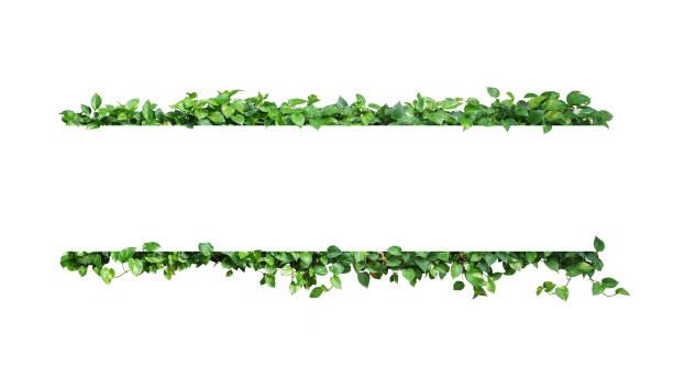 vert panaché feuilles nature cadre frontière de lierre du diable ou pothos doré le feuillage tropical plante sur fond blanc. - couleur des végétaux photos et images de collection