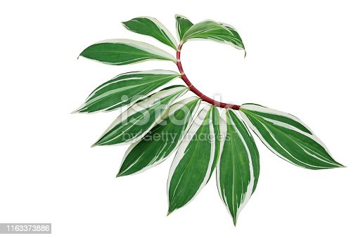 Green variegated leaves of spiral ginger or crepe ginger with red stem (Costus speciosus Variegata) the tropical plant isolated on white background, clipping path included.