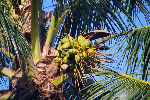 Green vegan coconut nuts on palm tree stock photo