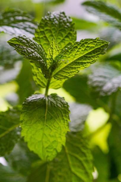 Green vegan mint plant closeup in natural sunlight stock photo
