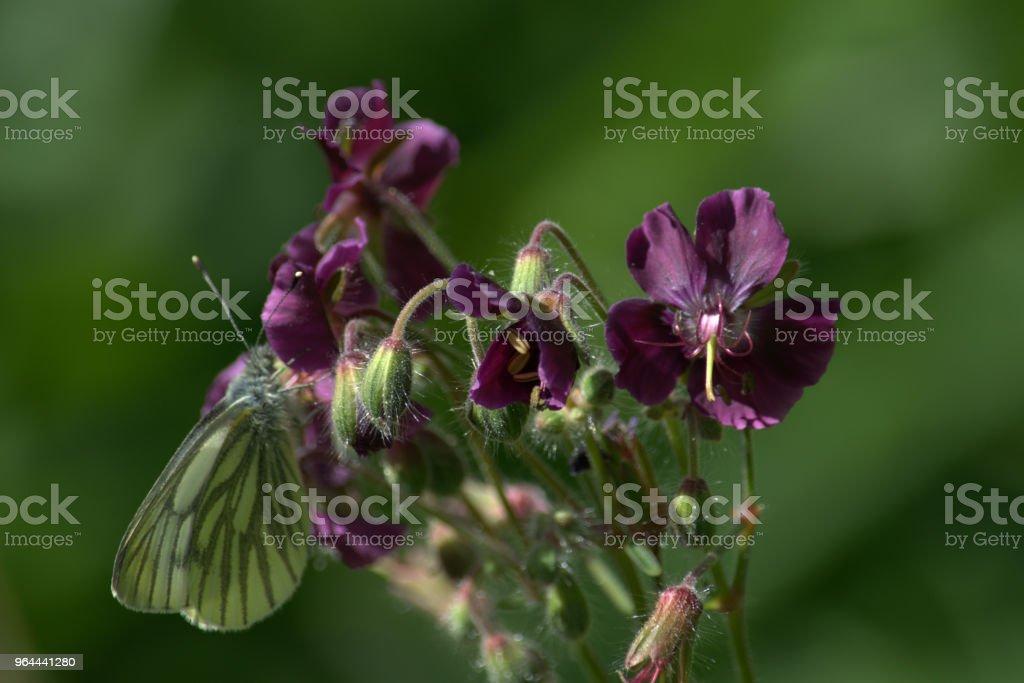 Verde-veado branca borboleta na flor do gerânio - Foto de stock de Borboleta royalty-free