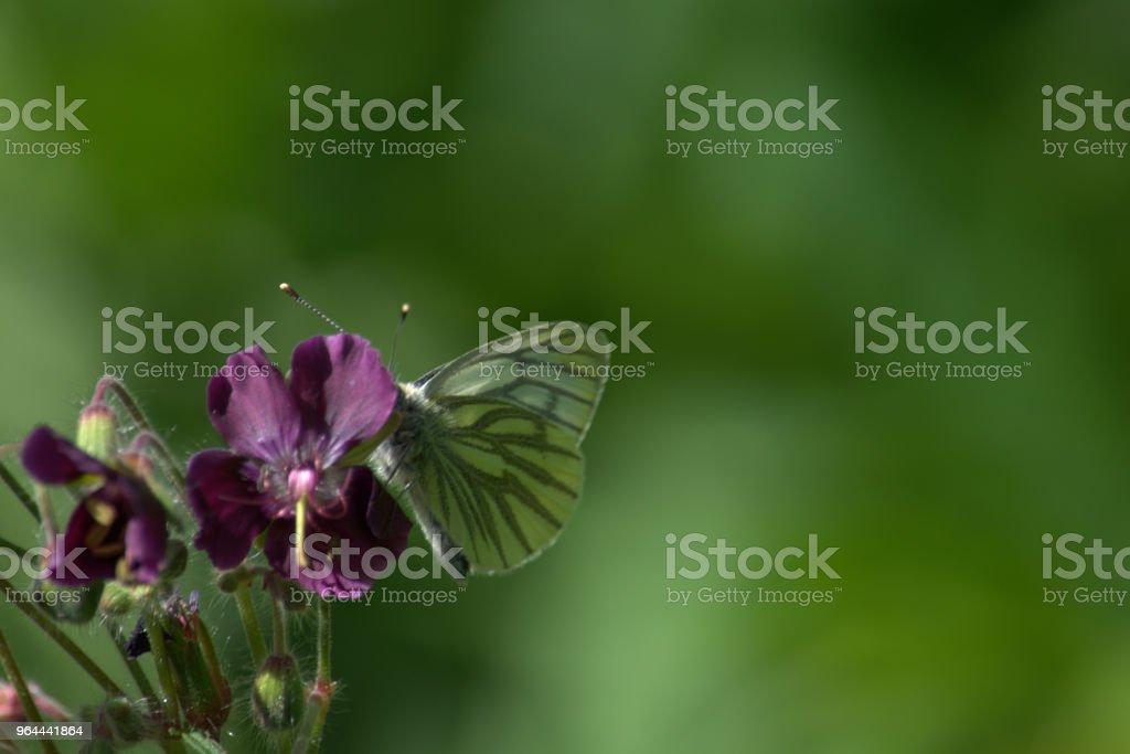 Groen geaderde witte vlinder op geranium bloem - Royalty-free Bloem - Plant Stockfoto