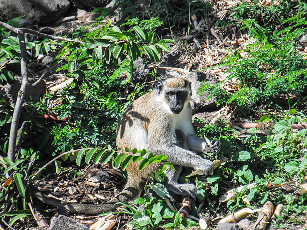Green Vervet Monkey stock photo