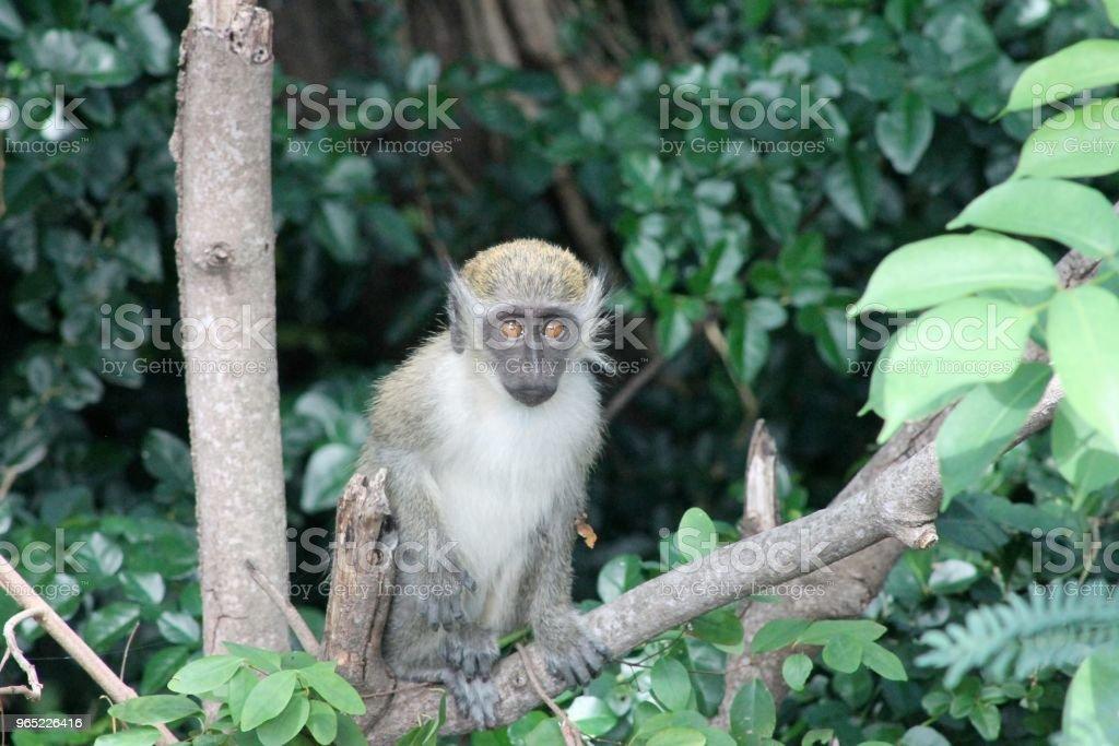 Green Vervet Monkey royalty-free stock photo