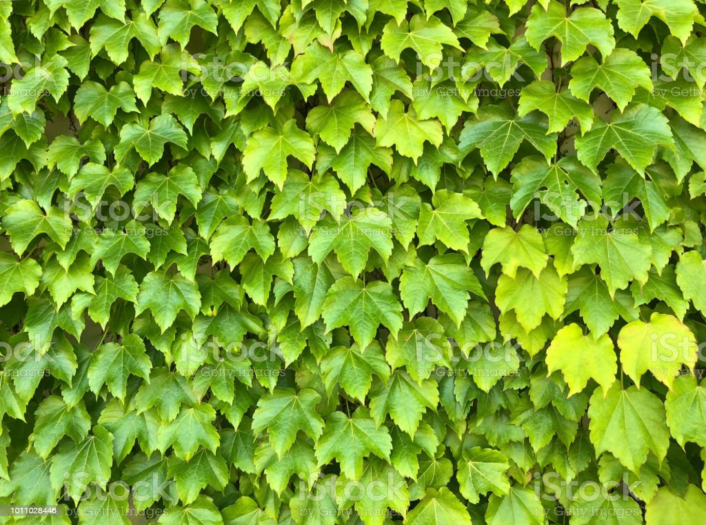 Green vine leaves background stock photo