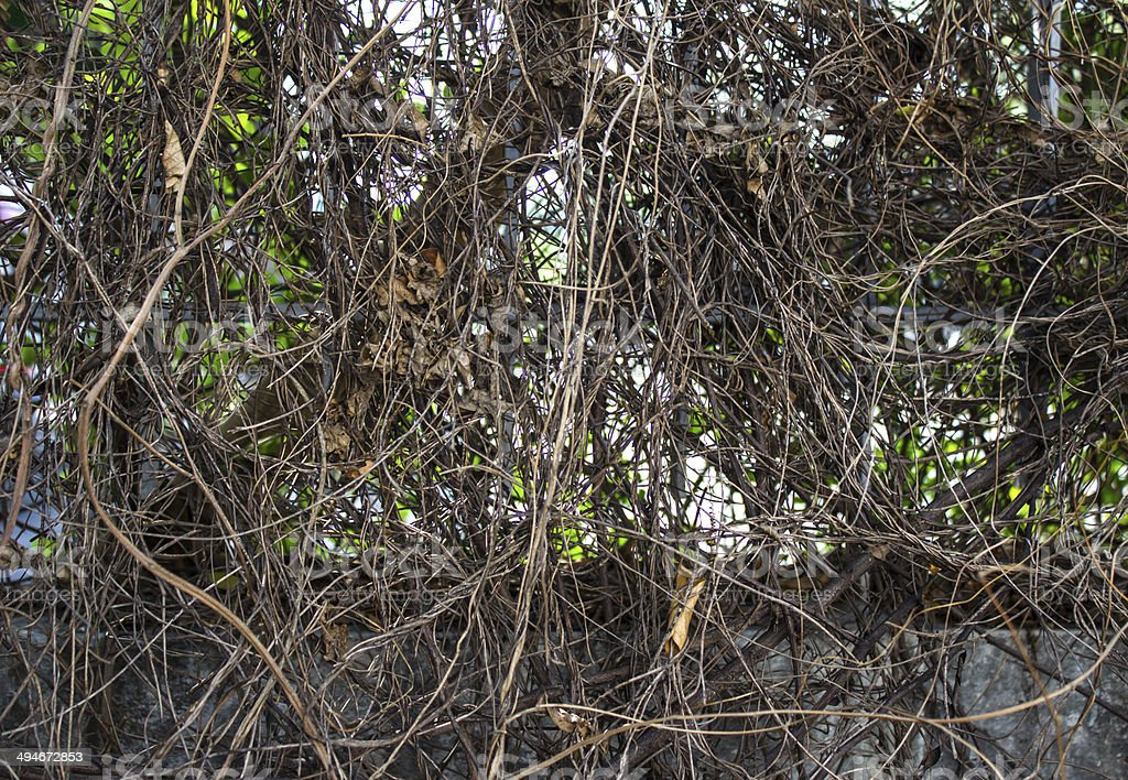 green vine on a wall royalty-free stock photo