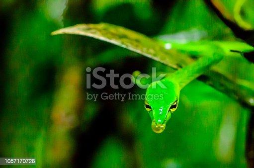 The Green vine snake (Ahaetulla nasuta), also known as long-nosed whip snake
