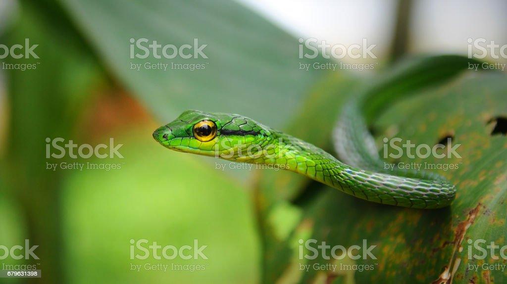 Green Vine Snake stock photo