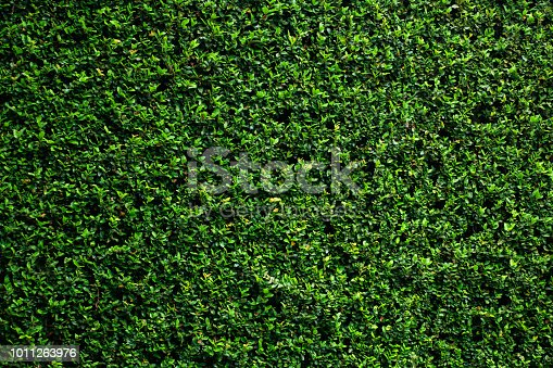 istock Green vine wall texture. Tropical background. 1011263976