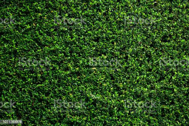Photo of Green vine wall texture. Tropical background.