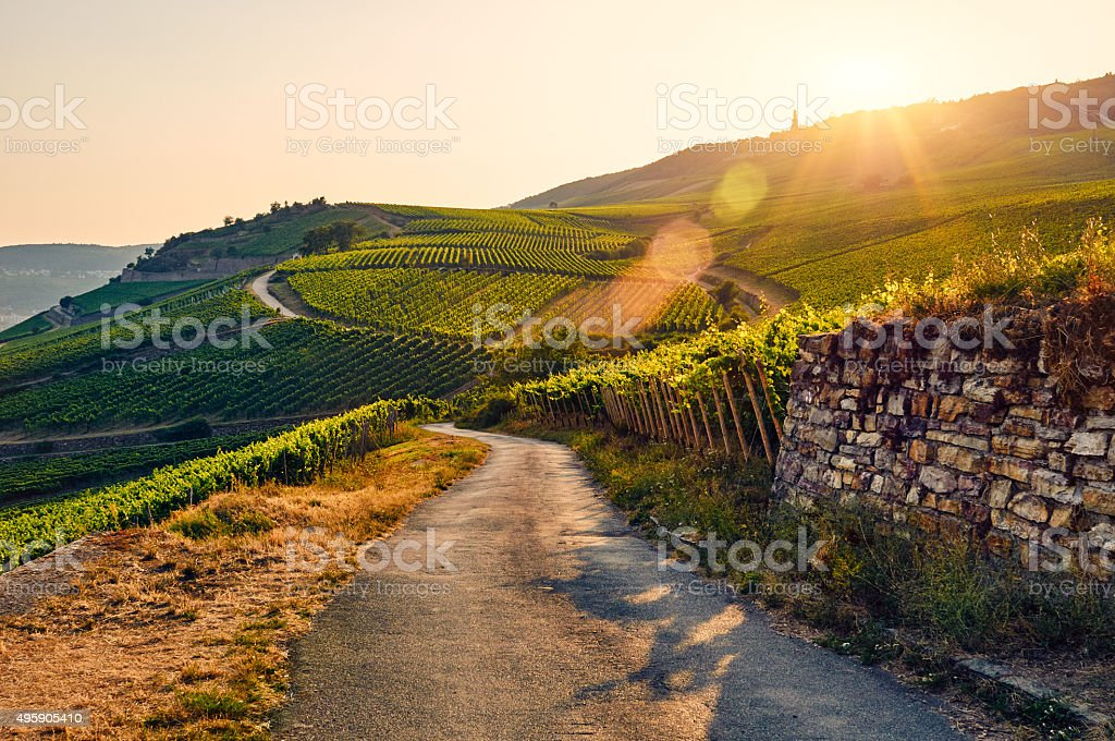 Green vineyard at sunset stock photo