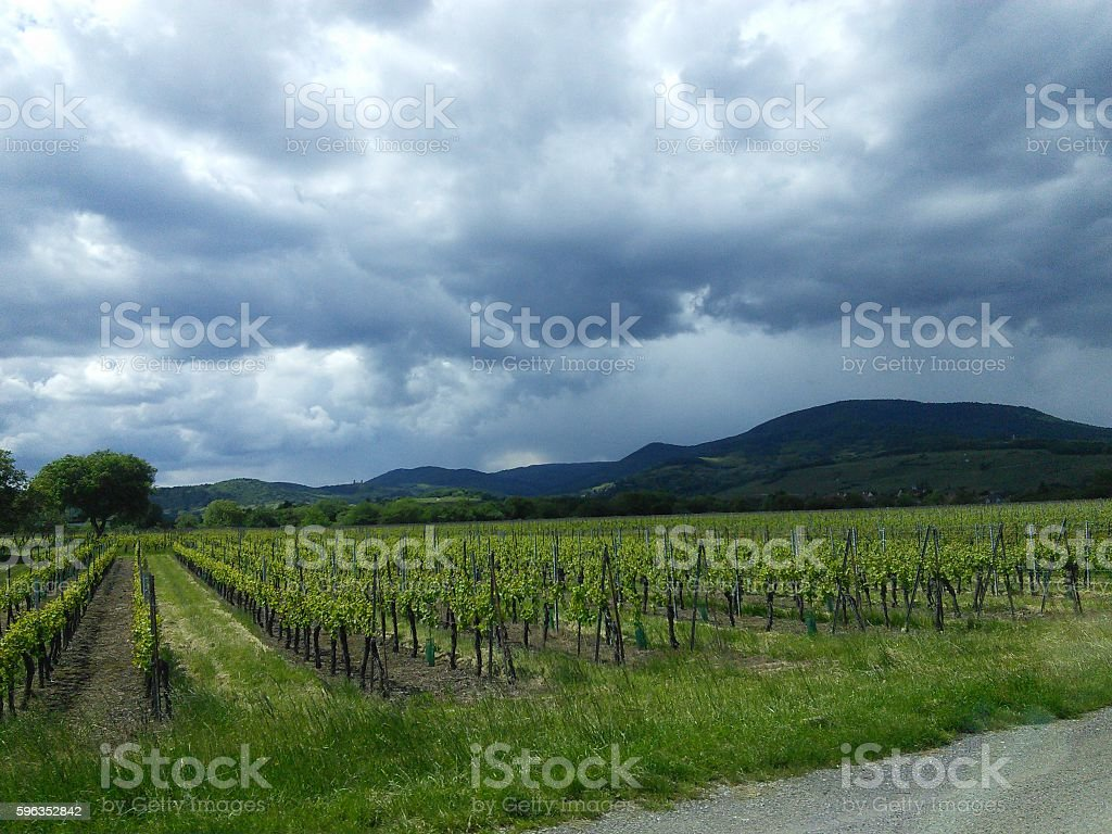 Green vineyard in France with blue sky royalty-free stock photo