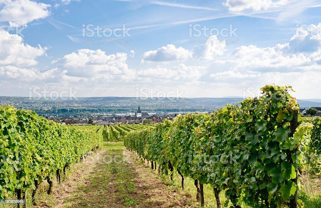 Green vineyard in Germany royalty-free stock photo