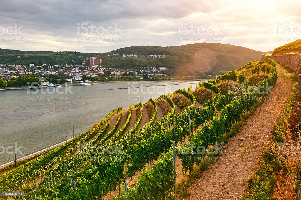 Green vineyard on the Rhine stock photo