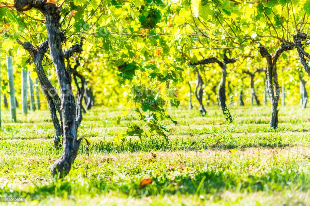 Green vineyard rows during autumn, summer, fall in Virginia countryside with closeup of under grapevines branches stock photo
