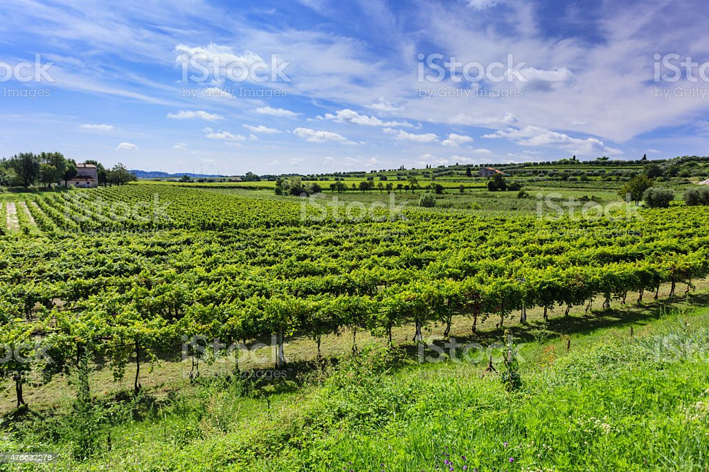 Green vineyard under blue sky stock photo