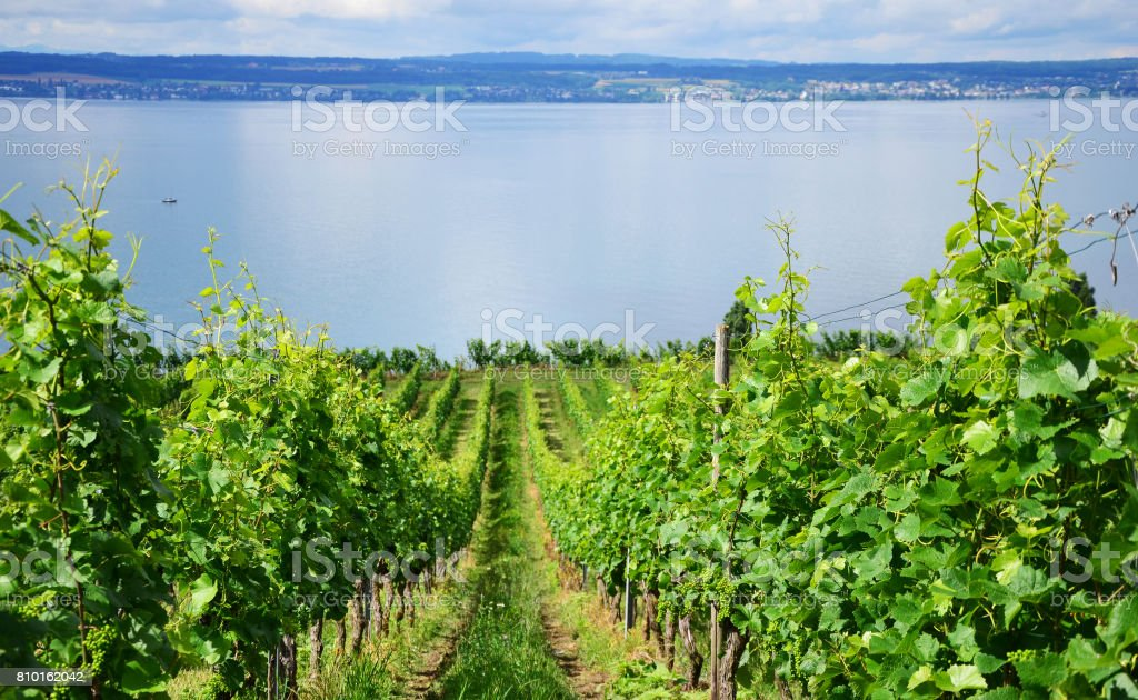 Green Vineyards between Meersburg and Hagnau at the Lake Constance, Germany stock photo