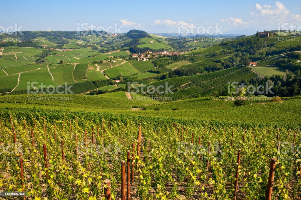 Green vineyards on the hills of Langhe in Italy. - foto stock