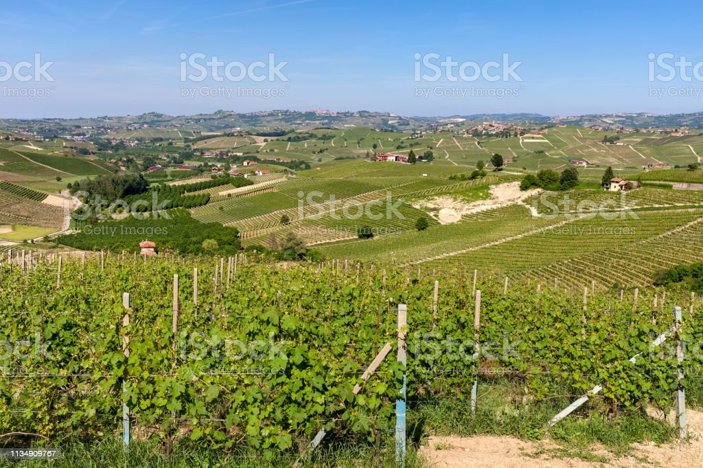 Green vineyards on the hills of Langhe. - foto stock
