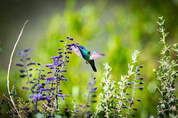 Colibri Vert Violet oreilles. - Photo