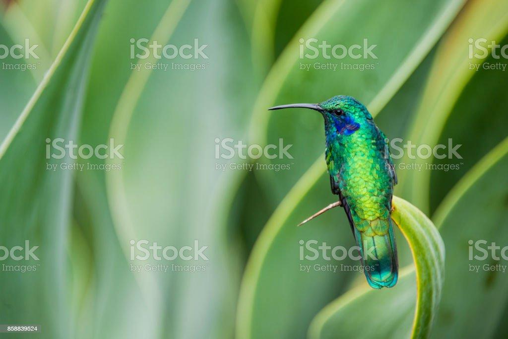 Green violetear hummingbird, Colibri thalassinus stock photo