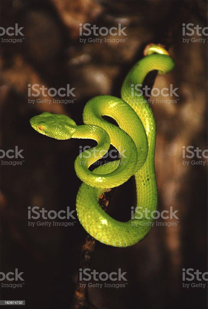 Green Viper stock photo