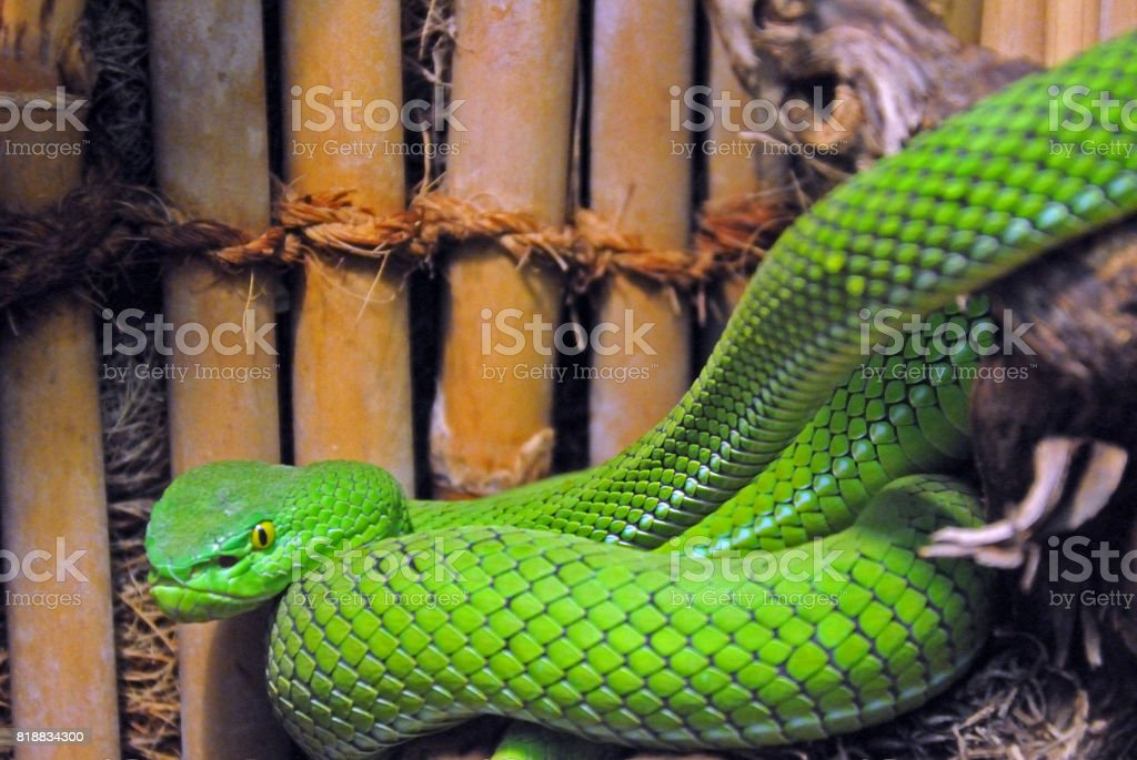 green viper stock photo