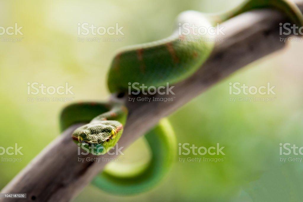Una serpiente víbora verde - foto de stock