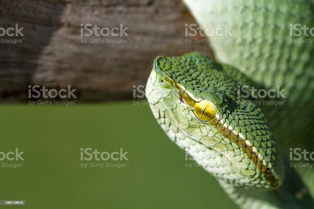 Green Wagler's Temple Viper Snake royalty-free stock photo