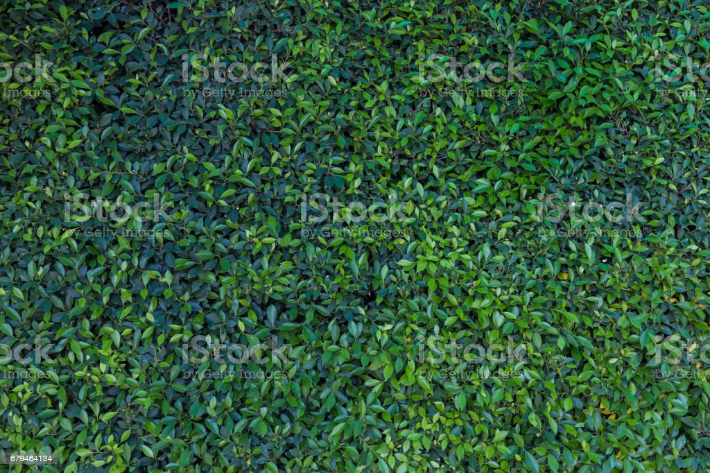 green wall Background of a Garden,leaves texture,green leaf background royalty-free stock photo