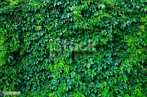 Green wall made fron climbing plant. Natural fresh green background