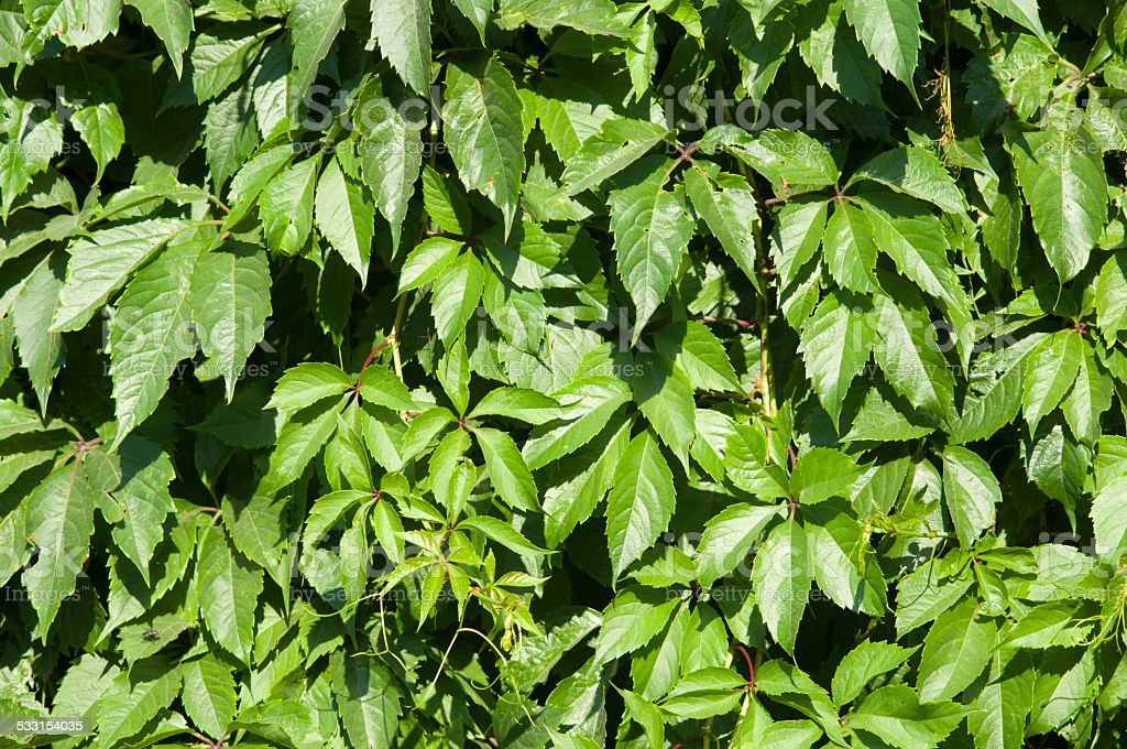 Green wall of Virginia creeper (Parthenocissus quinquefolia) stock photo