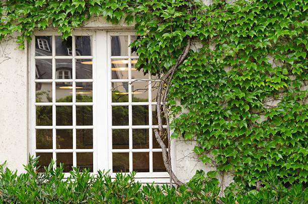 parede verde - ivy building imagens e fotografias de stock