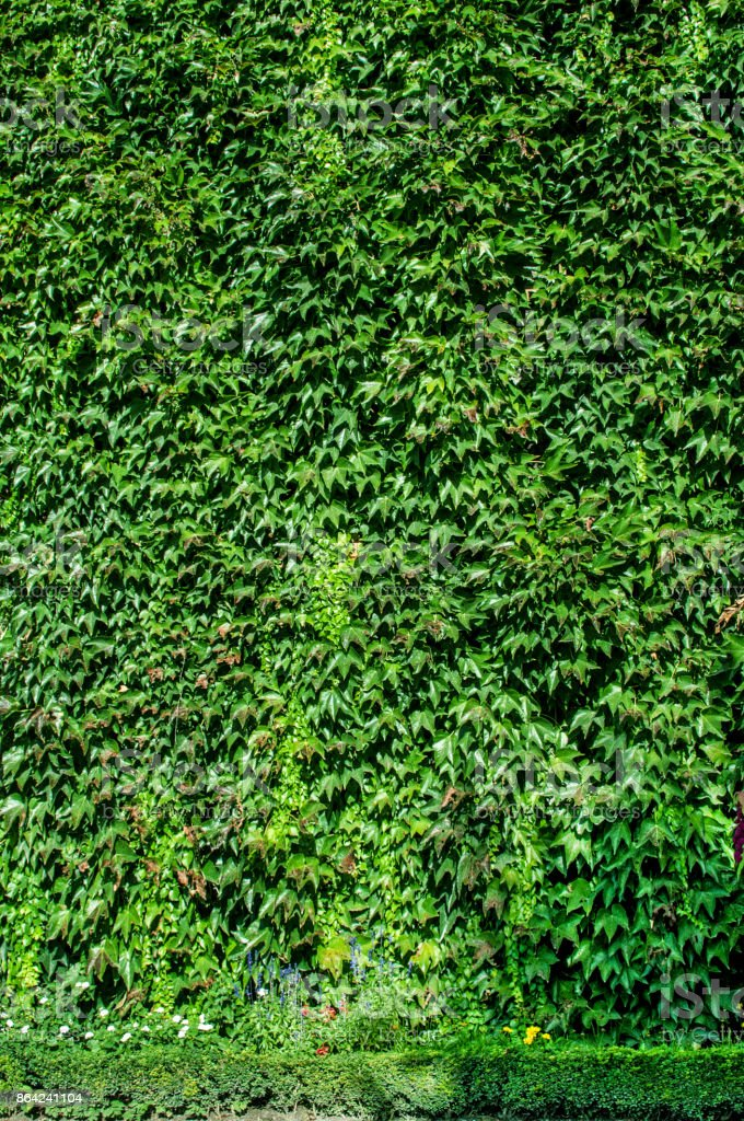 Green wall with ivy. The green background. Decoration royalty-free stock photo